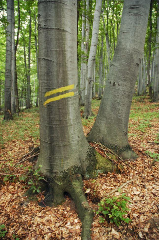 Žlté šikmé čiary - zvozná trasa ťaženého dreva