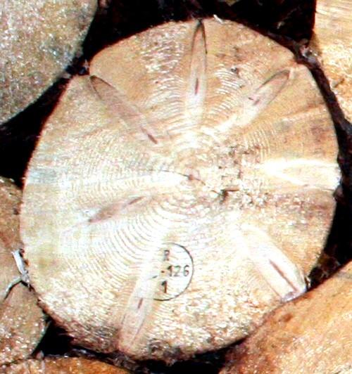Označené drevo po výrube ciachou