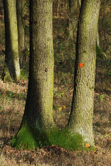 Strom určený na výrub - červené bodky